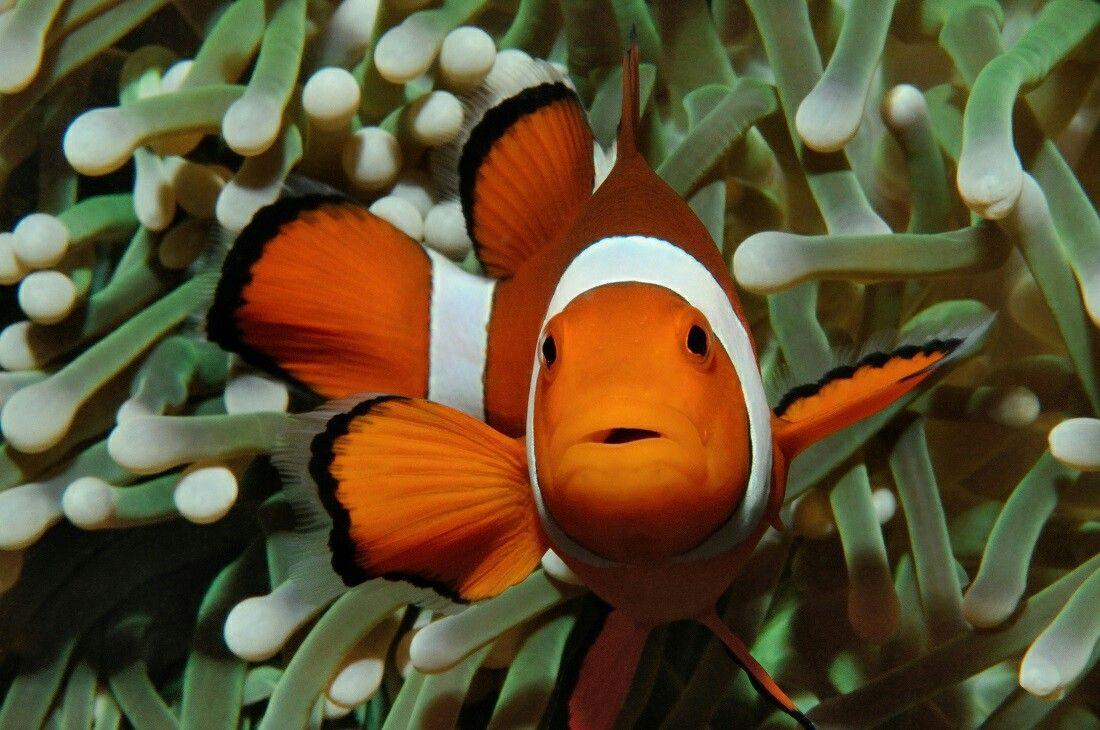 Clownfish Uploaded By Reef2land Com Aquarium Supplies Clown Fish Tropical Fish Animals