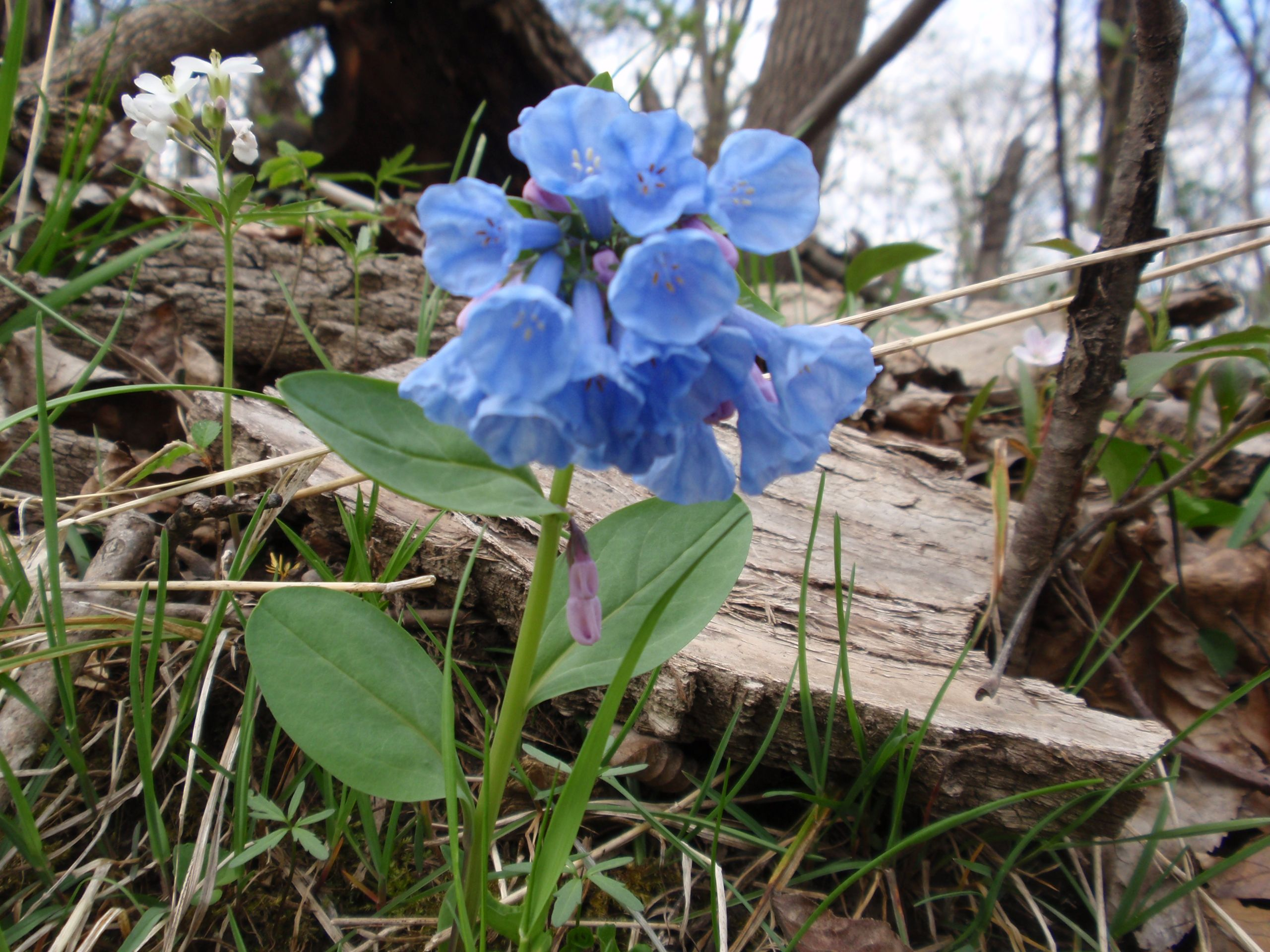 Blue Bell Spring Lake Park Wildflowers Pinterest Flowers