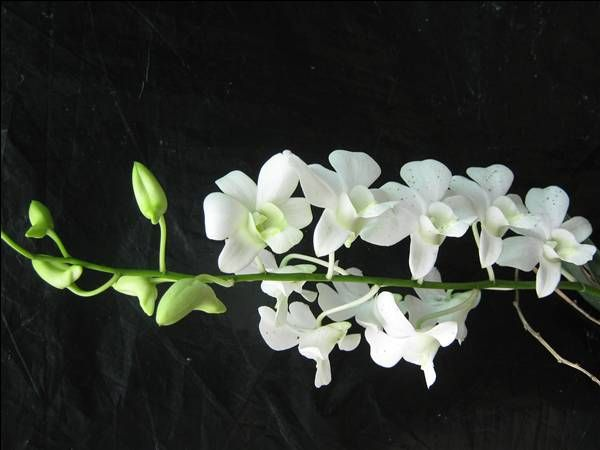 white dendrobium orchids - Google Search | Dowls ...