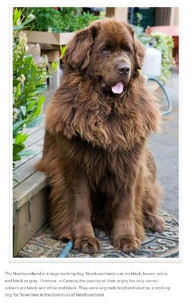 Newfoundland Brown Newfoundland Dog Dog Breeds Large Dog Breeds