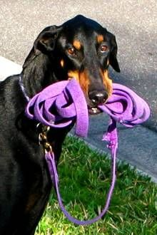 Florida Doberman Rescue Happy Endings