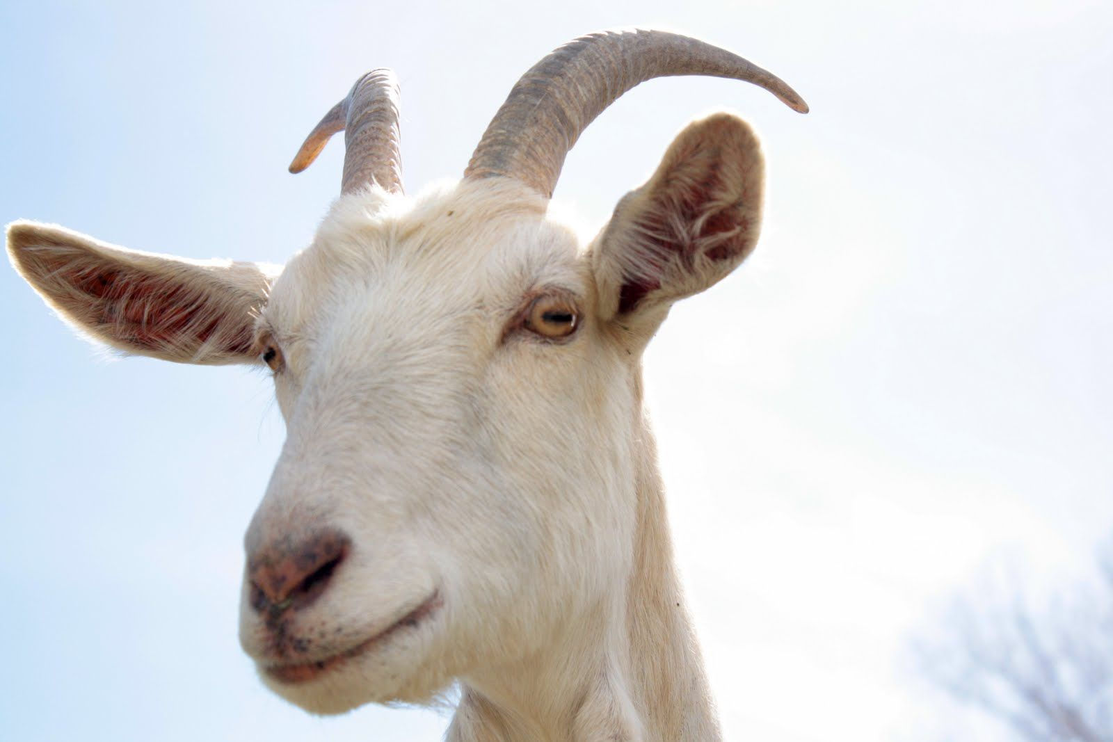 уши козы картинка потому, что другом