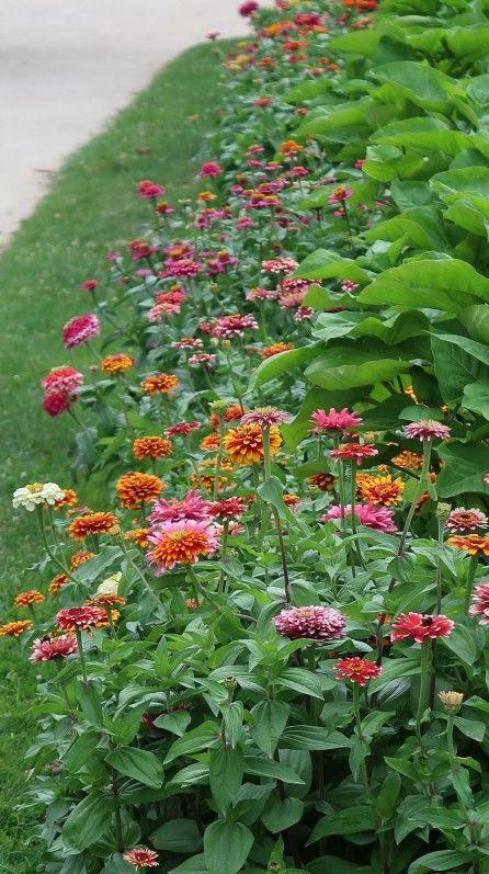 Plate-bande de zinnias, Astéracées, fleur annuelle, Jardin des ...