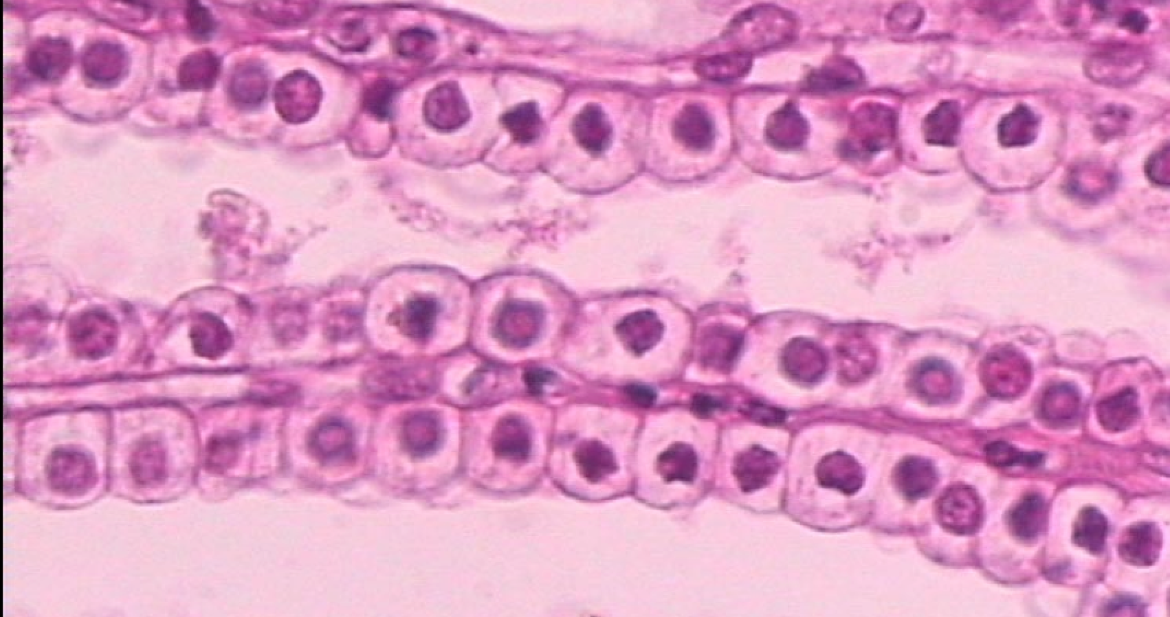 Stratified cuboidal epithelial tissue
