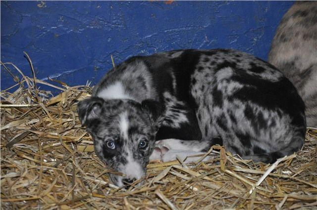 Hancock S Lurcher Puppies Lurcher Puppies Cute Animals