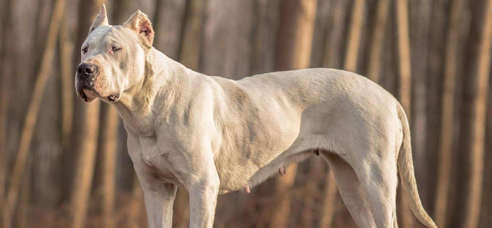 Dogo Argentino Puppies For Sale Dogo Argentino Breed Info
