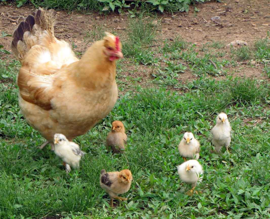 Chickens - pest control, eggs & meat, perfect for the ...