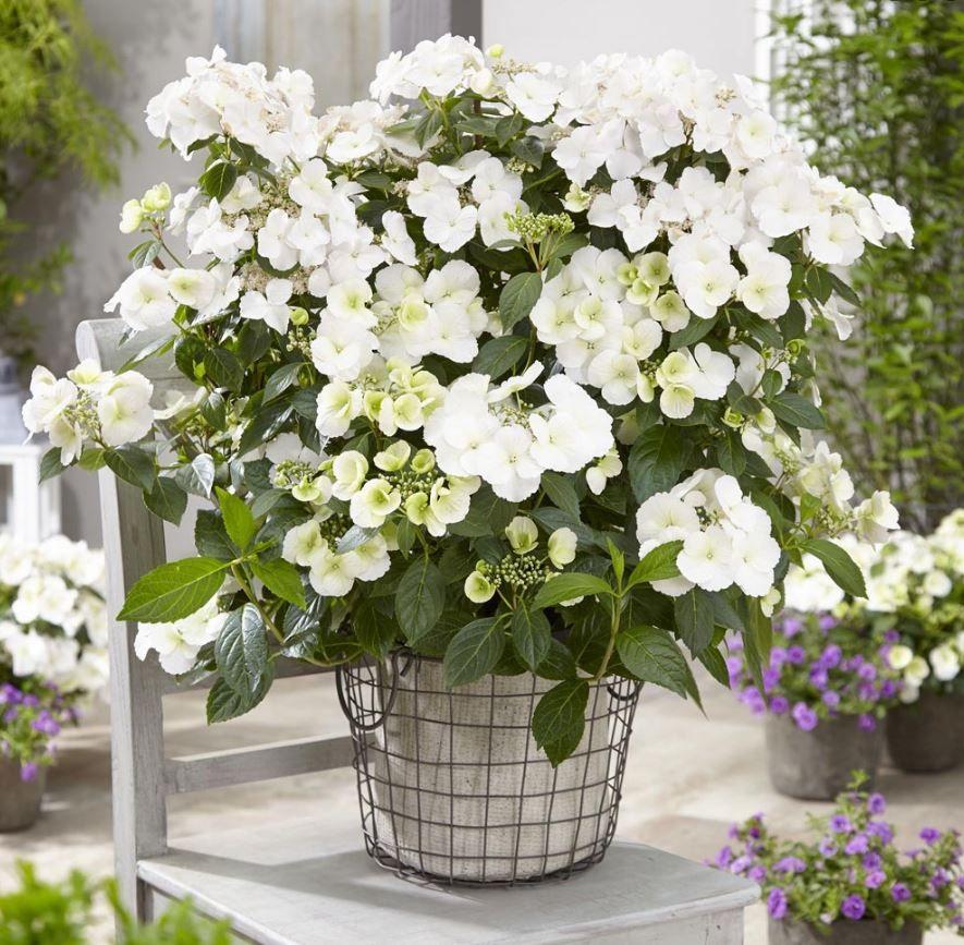 Hydrangea Runaway Bride In 2020 Chelsea Flower Show Hydrangea Potted Chelsea Flower