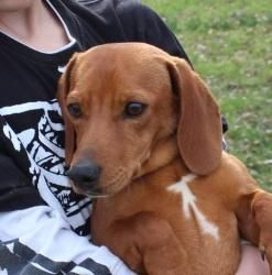 Zippy Is An Adoptable Dachshund Dog In Salem Nh Zippy And His