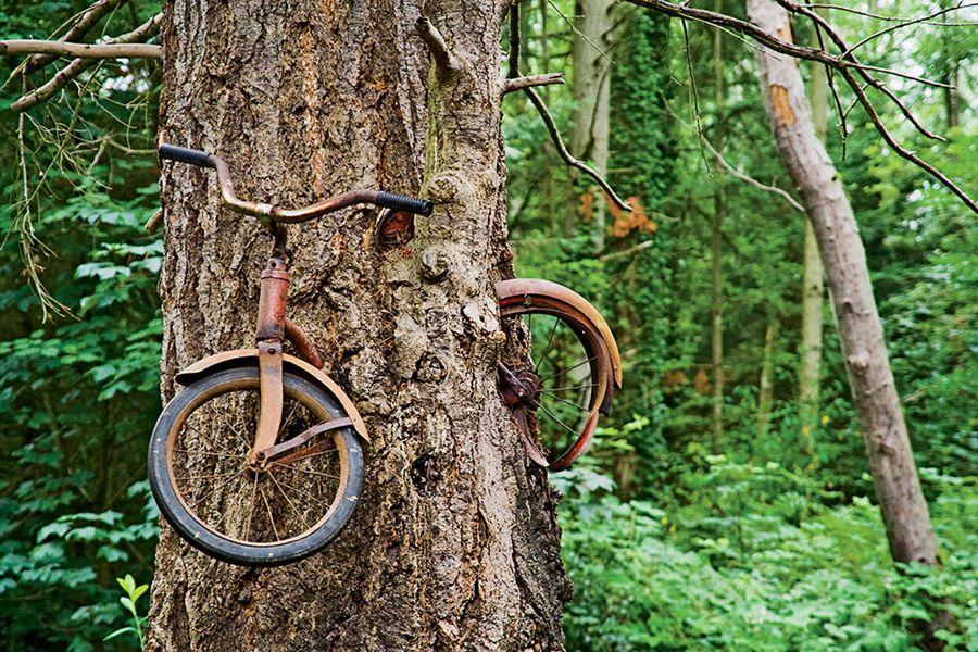 Tree Growing Around Bike Bicycle To A Tree On Washington S