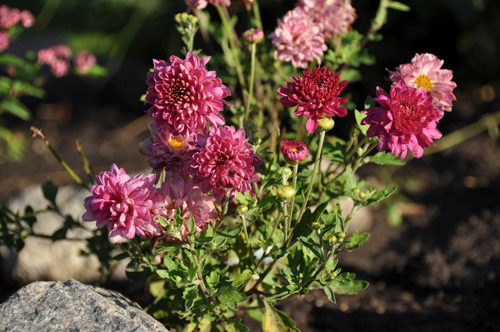 Northern exposure gardening plant list hardy perennials for the northern exposure gardening plant list hardy perennials for the north mightylinksfo