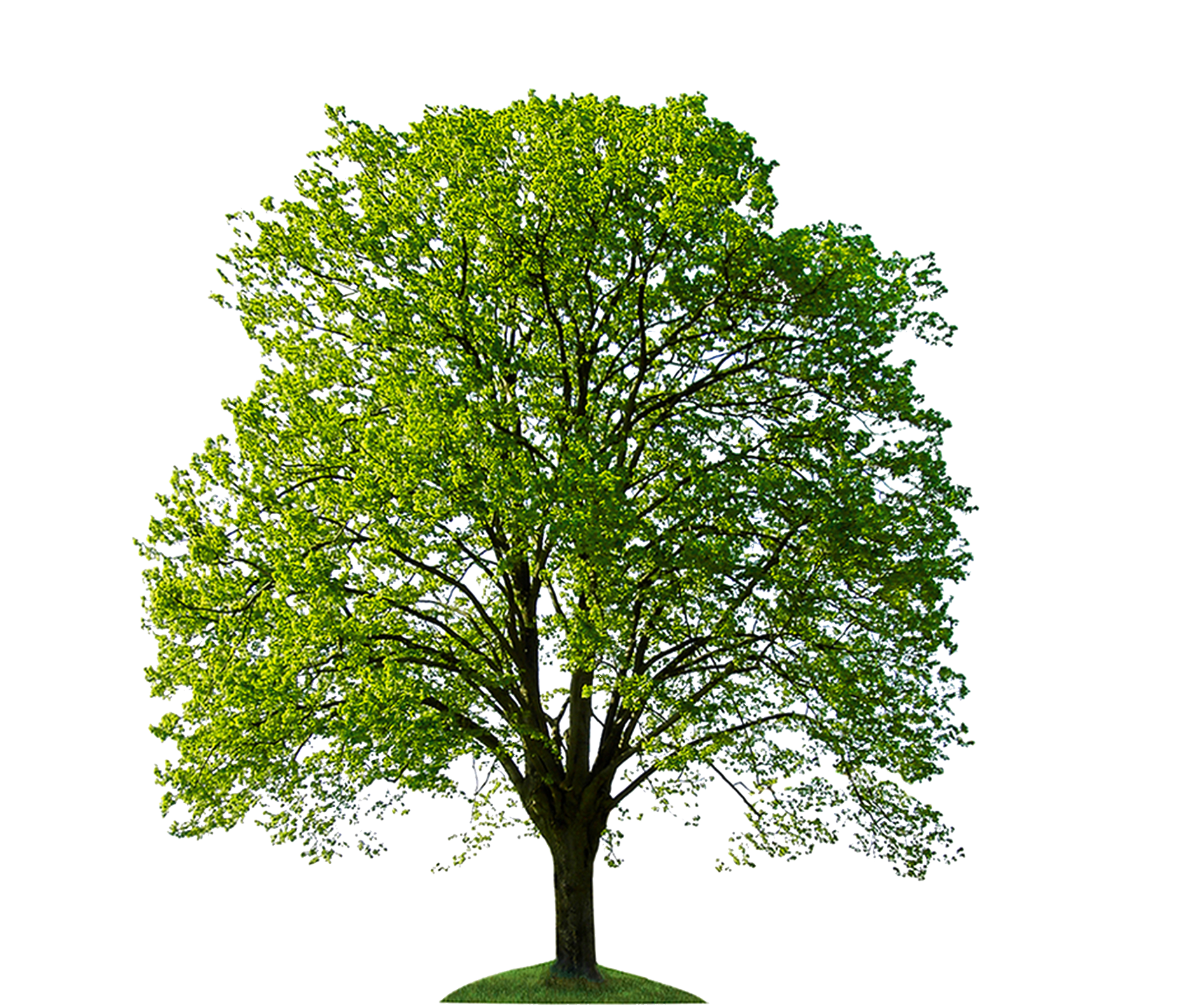 tree - Google Search | Trees | Pinterest for Park Tree Png  177nar
