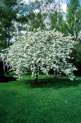 Prunus Avium Could Be What Is Growing In My Pot White Blossom Tree Blossom Trees Deciduous Trees