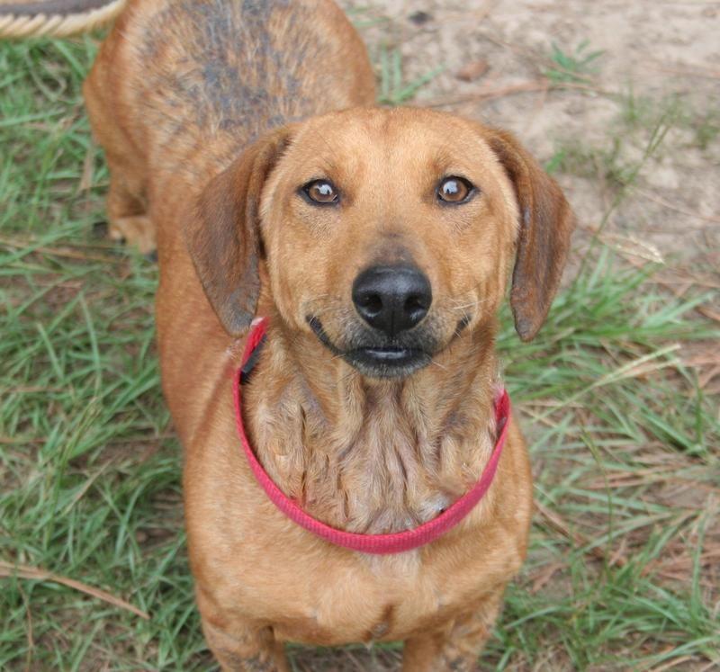 Adopt betsy on petfinder adoptable dachshund dog