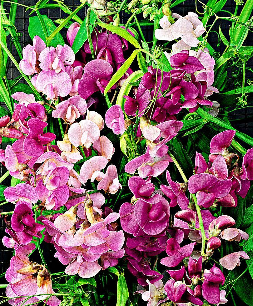 bakker blomster holland