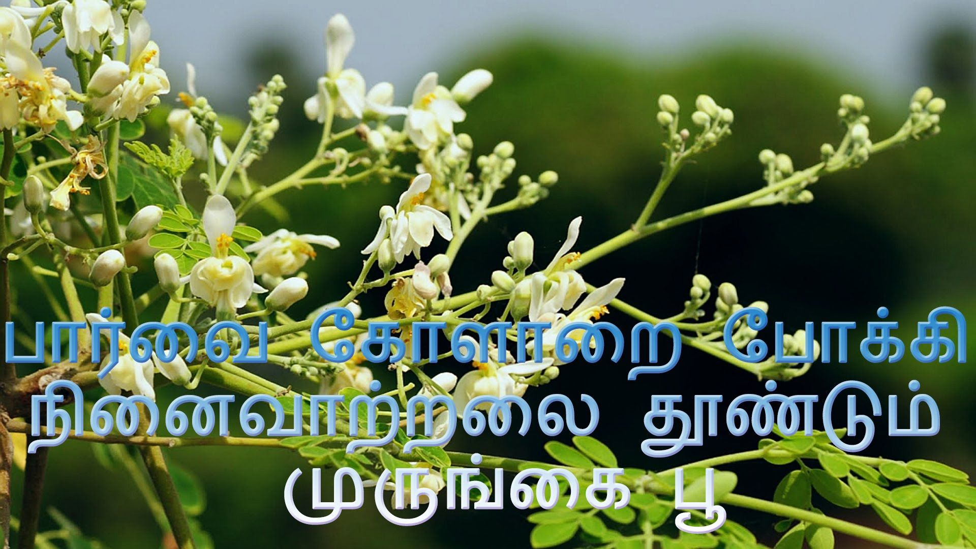 ப ர வ க ள ற ப க க ந ன வ ற றல த ண ட ம ம ர ங க ப Moringa Oleifera Moringa Tree Moringa Oleifera Tree