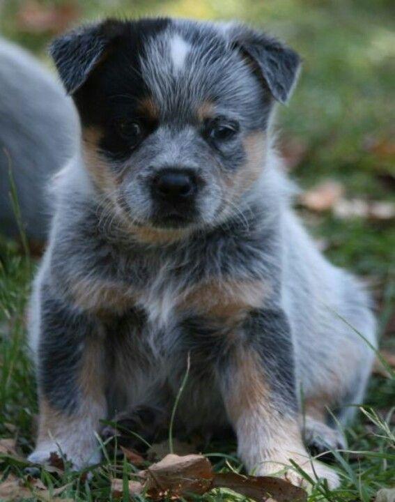 Queensland Heeler Puppy Dogs For Sale In Ventura County Southern California Adorable Heeler Puppies Blue Heeler Puppies Heeler
