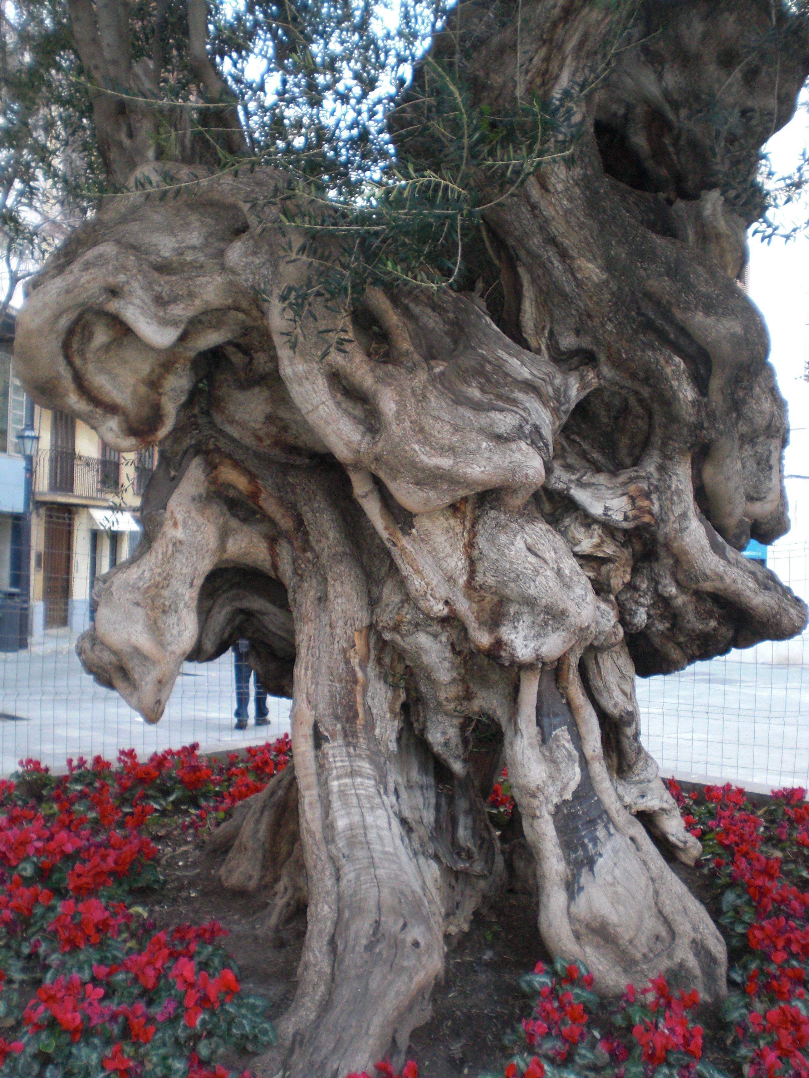 Olivo centenario de la plaza del ayuntamiento