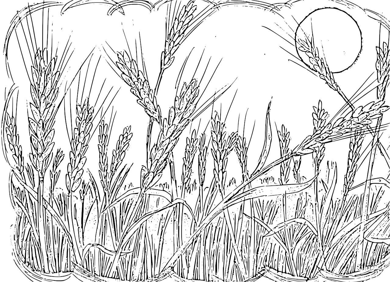 Wheat field coloring pages by robert teaching pinterest wheat