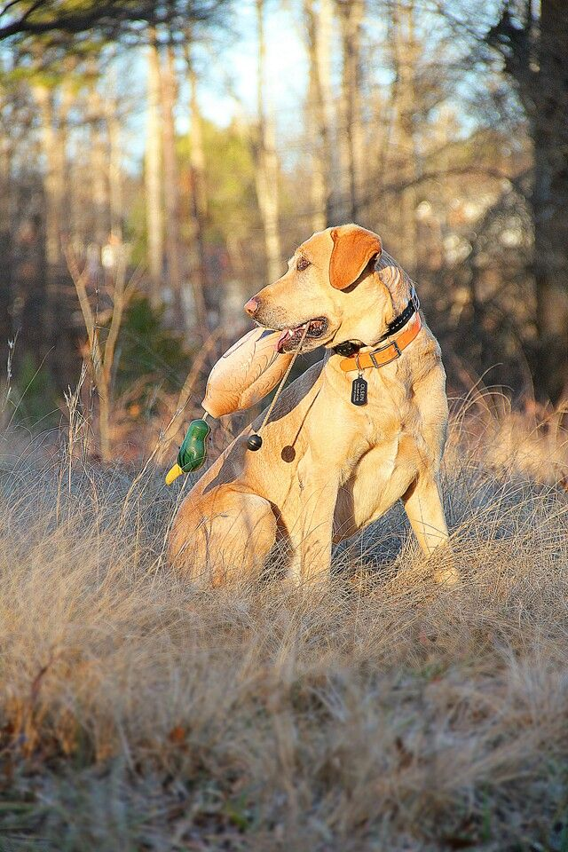 Labrador Retriever Duck Hunting Dog Photo Shoot Yellow Lab