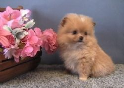 Teacup Pomeranian puppies for sale #teacuppomeranianpuppy Teacup Pomeranian puppies for sale #teacuppomeranianpuppy Teacup Pomeranian puppies for sale #teacuppomeranianpuppy Teacup Pomeranian puppies for sale #teacuppomeranianpuppy