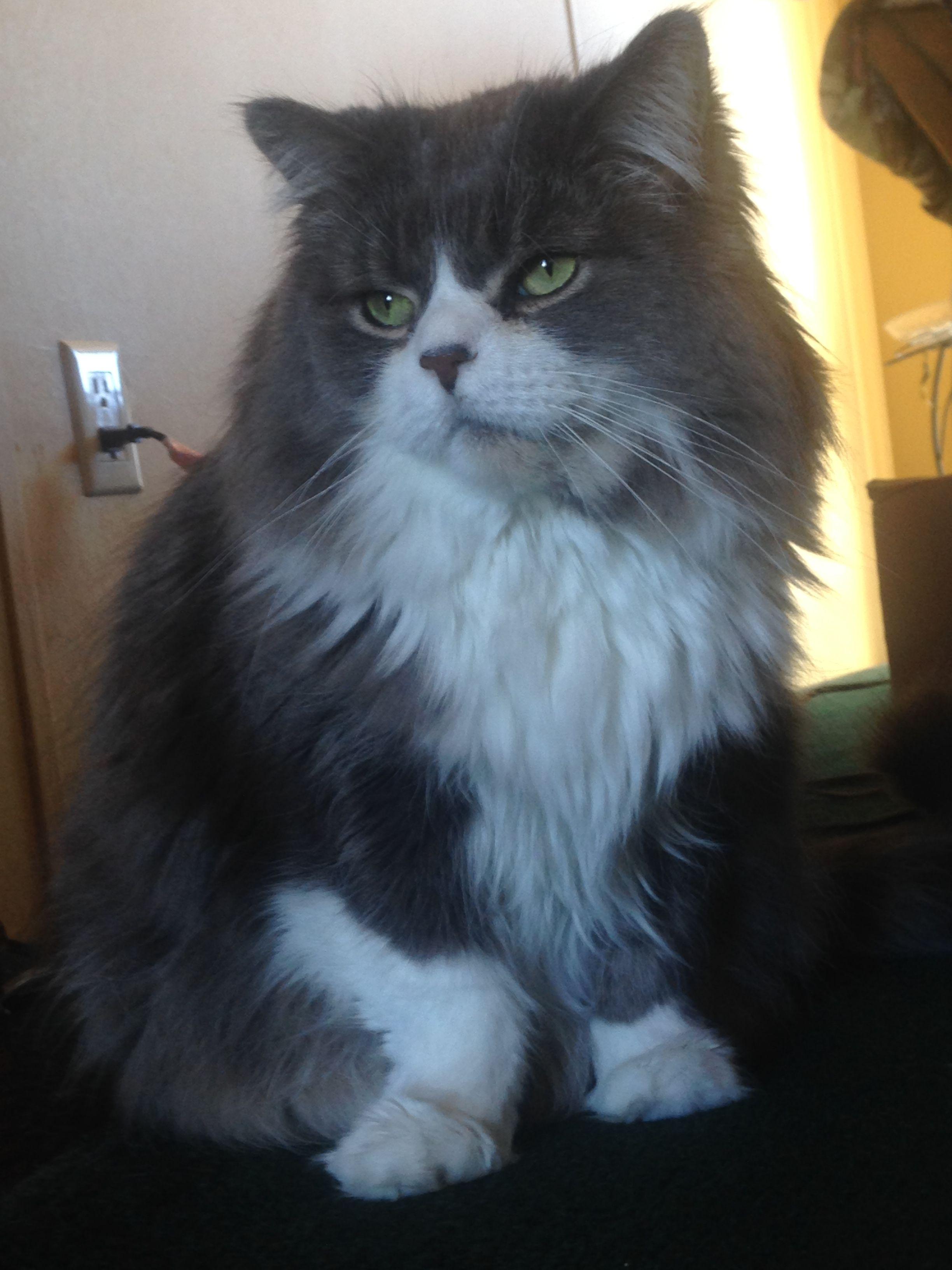 Beautiful Grey And White Fluffy Persian Kitty Named Taz Fluffy Cat Kitty Cats
