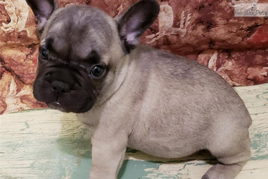 Simple Simon French Bulldog Puppy For Sale Near Houston Texas