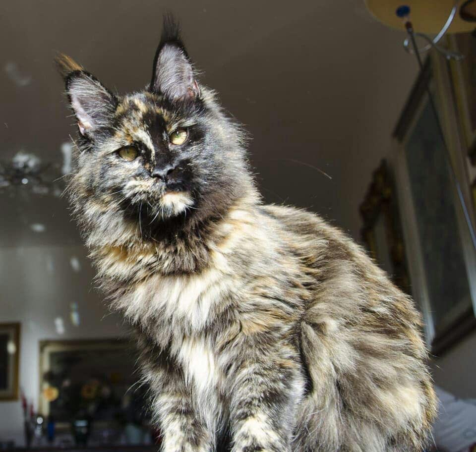 кошки и рыси майкуны черно белое фото картинки видео