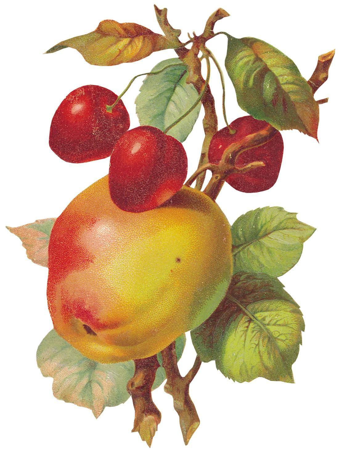 Райские яблочки рисунок