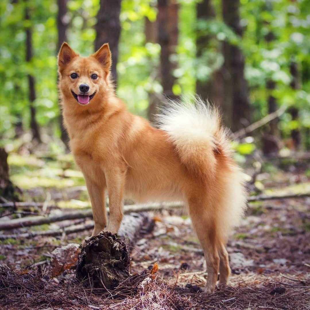 Pin by Helen Heater on Dogs around the world Finnish