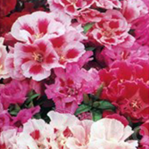 Godetia Tall Double Mix 100 Seeds Seeds Flowers Flower Garden