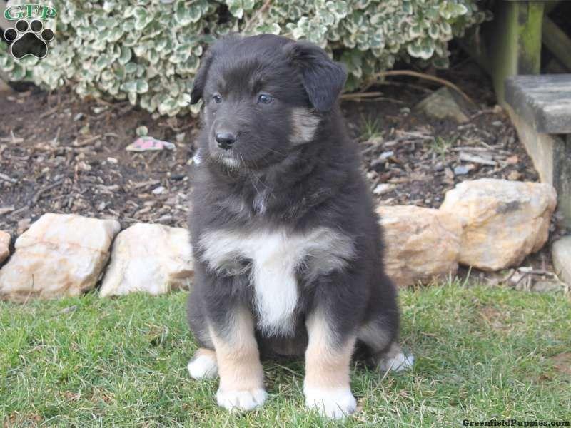 Blossom australian shepherd puppy for sale from