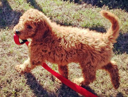 Rudy The Goldendoodle Well If No One Will Take Me For A Walk I