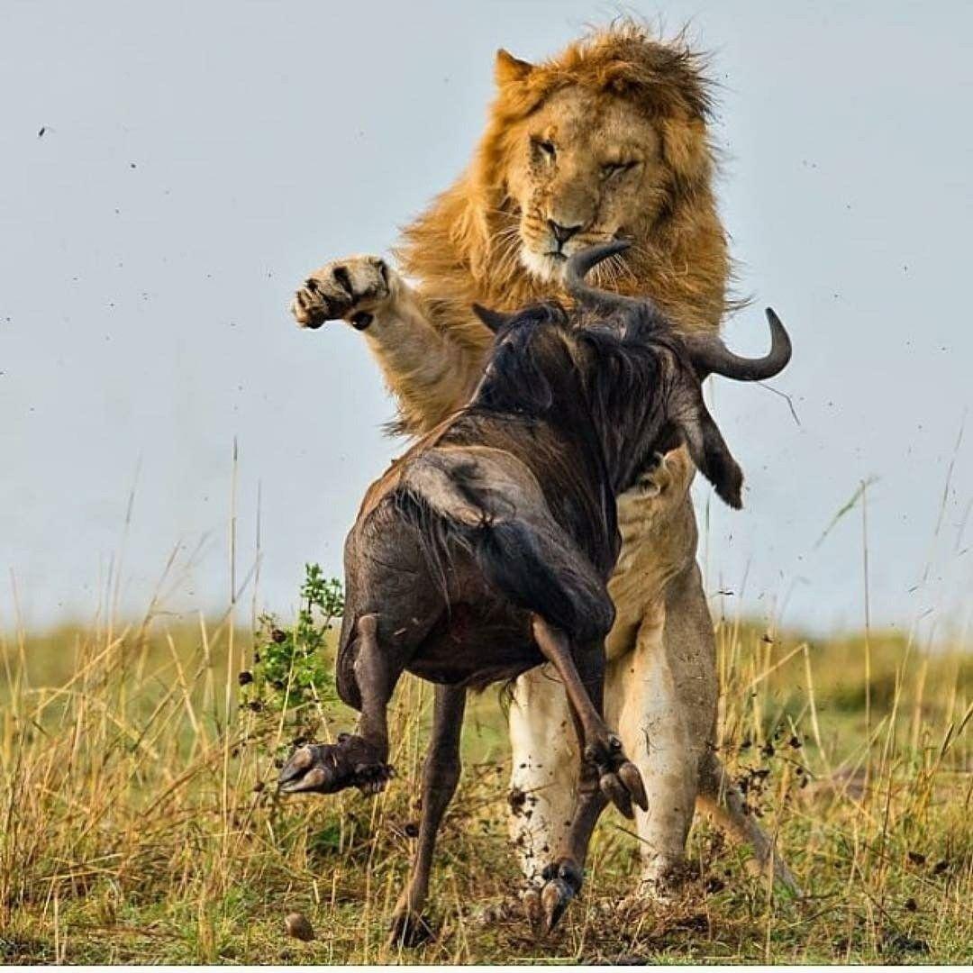 Pin by Carla RobertsonNevarez on Big Cats/Lions Animal