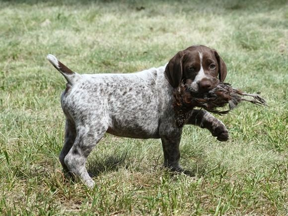 Puppy Fever German Shorthaired Pointer Dog German Shorthaired
