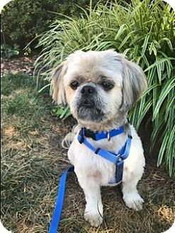 Pictures Of Mikie A Shih Tzu For Adoption In Greensboro Nc Who Needs A Loving Home Dog Adoption Shih Tzu Dog Shih Tzu