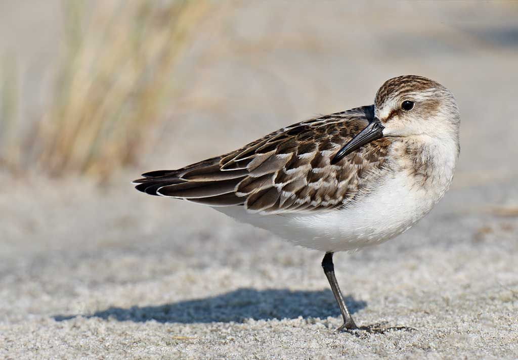 Juvenile Semipalmated Sandpiper Shorebirds Bird Species Long Island Ny Shorebirds