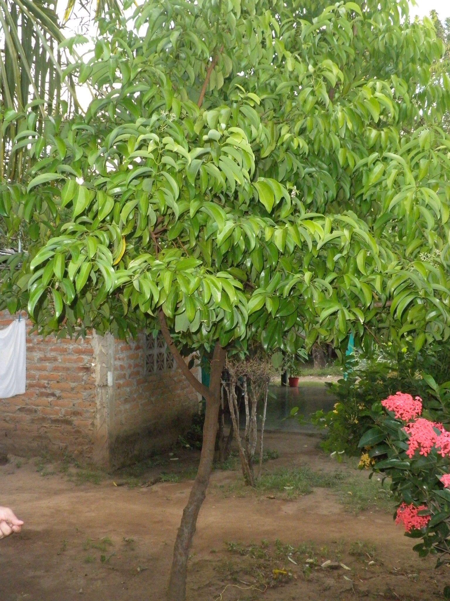 Arbol de canela cinnamon tree jardineria para - Jardineria para principiantes ...