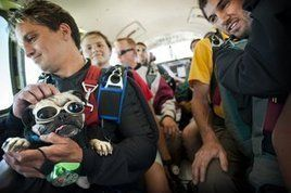 Otis The Skydiving Pug Pugs Pug Love Pug Mom