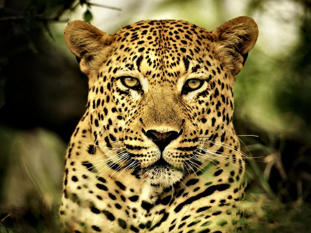 leopard animal | leopard animal desktop wallpaper download leopard