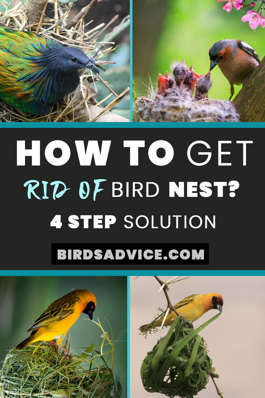 How To Get Rid Of Bird Nest Birds Advice Bird Nest Bird Bird Species