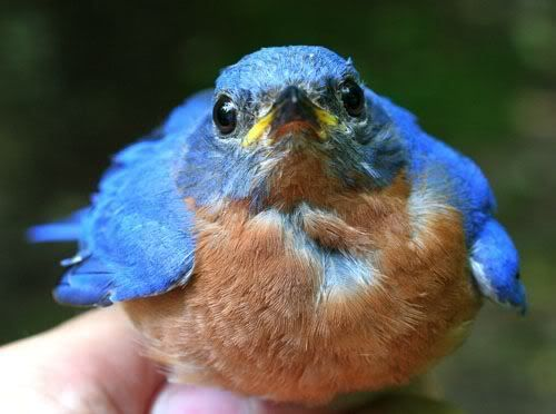 eastern bluebird - nothing better than seeing a PAIR of them. (they come to my feeder, raise babies in the birdhouses, and love bluebird pond )