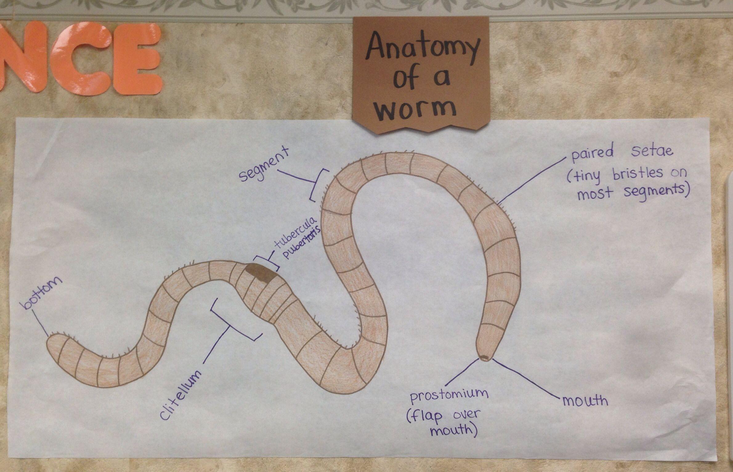 Anatomy Of A Worm Display Anatomy Preschool Segmentation [ 1534 x 2380 Pixel ]