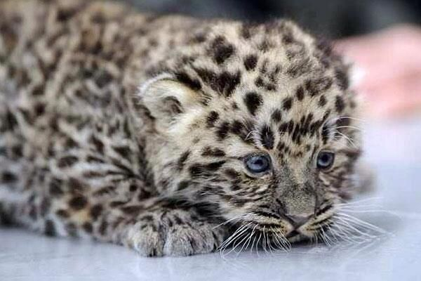 Only 30 Amur Leopards are left in the world.