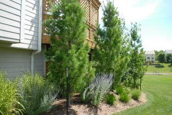 White Columnar Pine This Upright And Narrow Evergreen Makes A Great Specimen Tree Or Screen It Can Grow Up Columnar Trees English Cottage Garden Narrow Garden