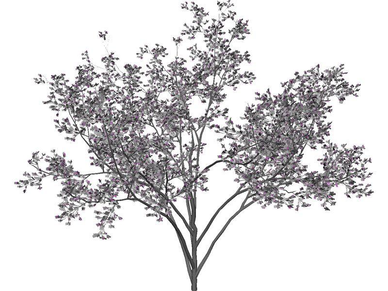 Cercis Siliquastrum Tree 3D Model