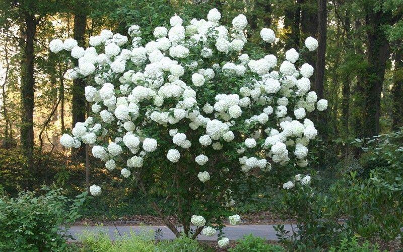 Chinese Snowball Viburnum Large White Pom Poms On A