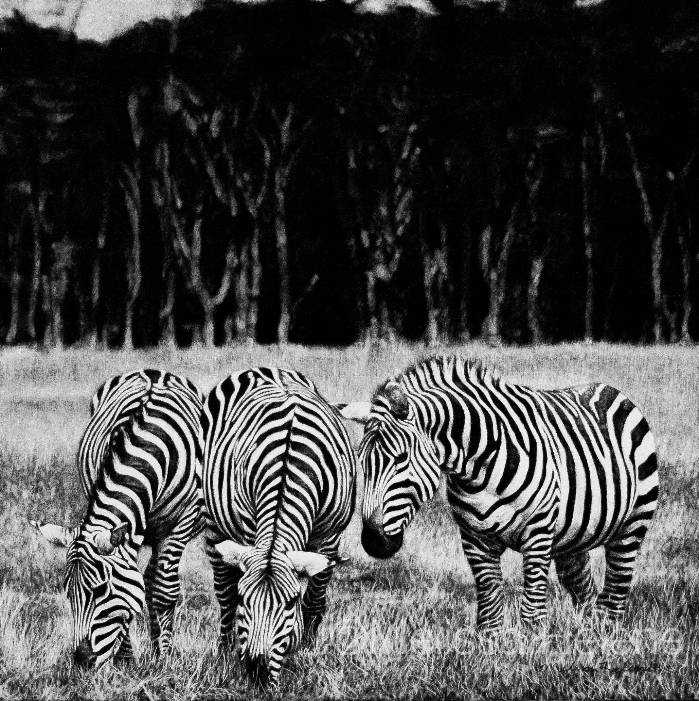 Three Zebras | Melissa Helene Fine Arts + Photography www.melissahelene.com 8x8 #scratchboard #zebras #wildlife #artwork #art #blackandwhite