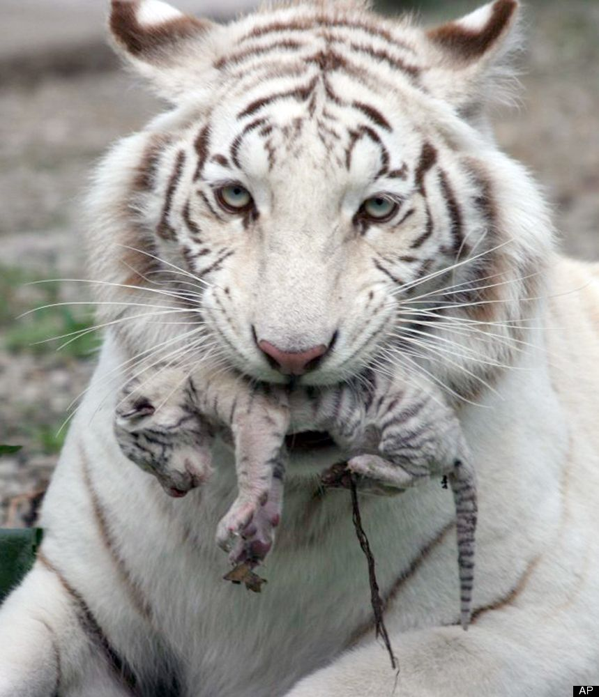 Picture 1 of 2 kiev ukraine a beautiful white tiger that picture 1 of 2 kiev ukraine a beautiful white tiger that became biocorpaavc