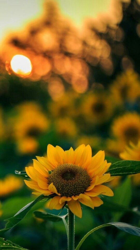 Nature Iphone Wallpaper Ideas Nature Wallpaper Iphone Sunflowers